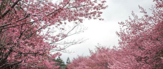 台中。和平》遙想當年的武陵農場粉紅櫻花