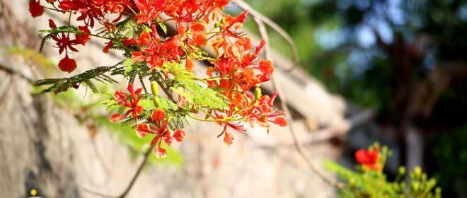 湖內-蕃茄會社鳳凰花開